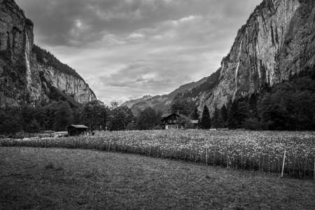 The traditional chalet on field & meadow flowers in overcast spring day with high waterfalls in background in Lauterbrunnen Valley and Swiss Alps, Switzerland. Black and white vintage style.