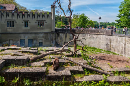 gave: Bern, Switzerland - May 26, 2016: Bear in the bear pit in Bern in a beautiful spring day, Switzerland. The Pit houses the famous Bern bears that gave the Swiss capital city its name. Editorial