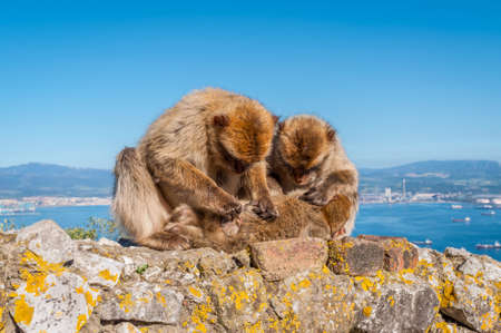 barbary: Barbary macaques on top of the Rock of Gibraltar Stock Photo