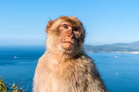 Gibraltar Barbary macaque monkey portrait with panorama view in background Stock Photo