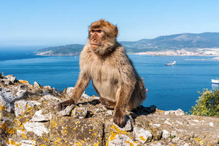 Famous wild macaque that relax in Gibraltar Rock. The Gibraltar monkeys are one of the most famous attractions of the British overseas territory.