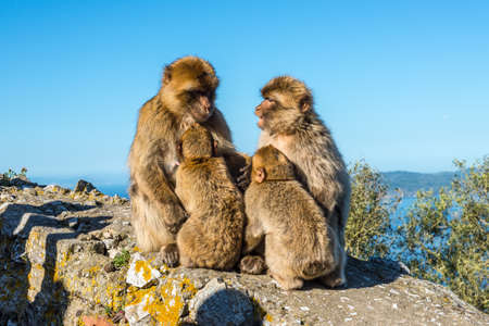 Barbary macaques family sits on top of the Rock of Gibraltar Stock Photo