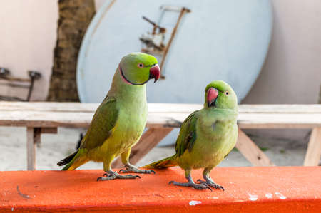 A pair of green parrots are sitting on a parapet on the Maafushi Island, Maldives, Indian Ocean