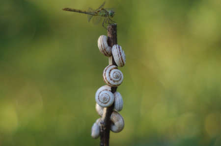 slithery: Photo of snails on a branch and dragonfly Stock Photo