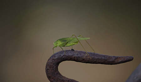 hopper: Large bright green grasshopper looking through lush green leaves