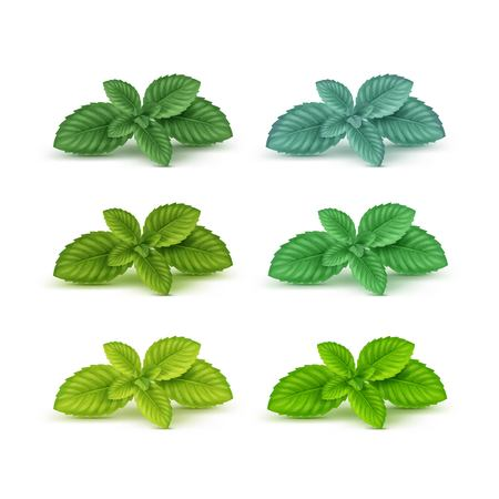 Vector Mint Spearmint Peppermint Leaf Leaves Set Isolated on White Background Çizim
