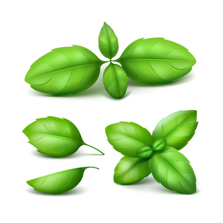 basil: Vector Set of Green Fresh Basil Leaves Close up Isolated on White Background