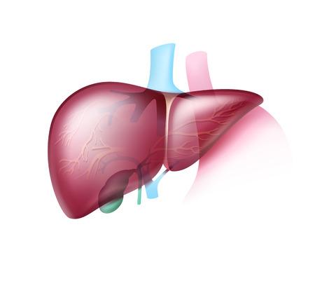 Hígado sano realista Ilustración de vector