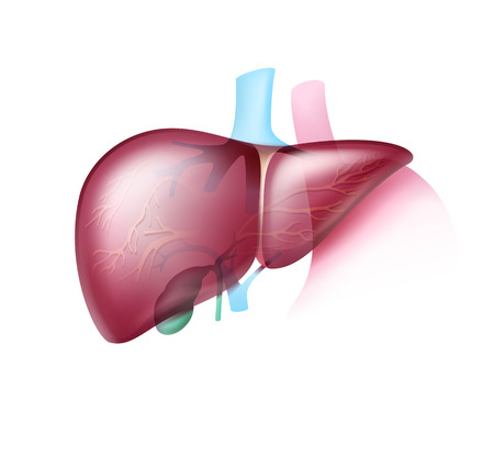 Realistic healthy liver Illustration