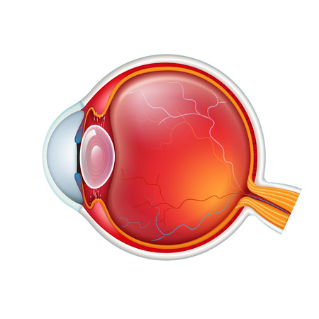 Vector human eye crossection side view close up isolated on white baclground Illustration