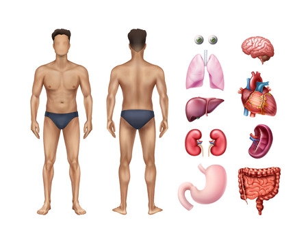 Vector illustration of male body template front and back with human internal organs detailed icons set on background Illustration