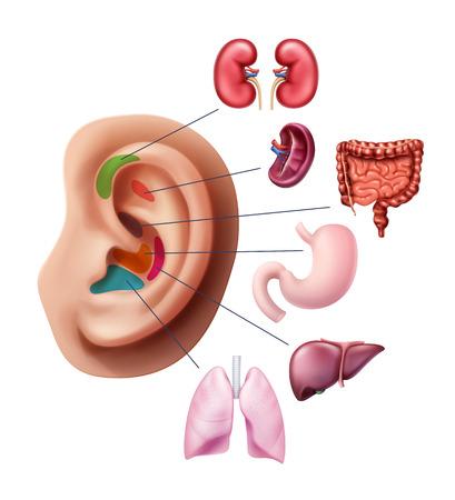 Ilustración de vector de puntos de acupuntura en la oreja, zonas reflejas con órganos humanos internos aislados en el fondo