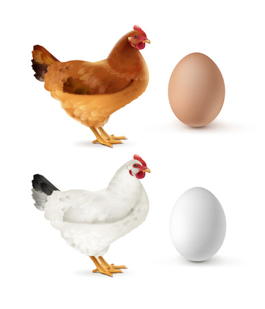 Vector illustration of brown and white hen with eggs isolated on white background Vectores