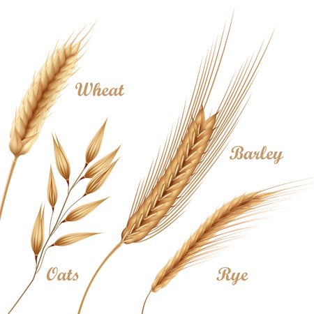 Vector illustration of four agricultural crops, cereals icon set with wheat, oats, rye, barley in spikelets on white background Ilustrace