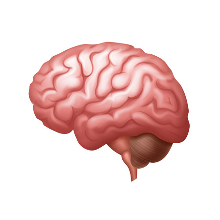 Vector pink human brain side view close up isolated on background
