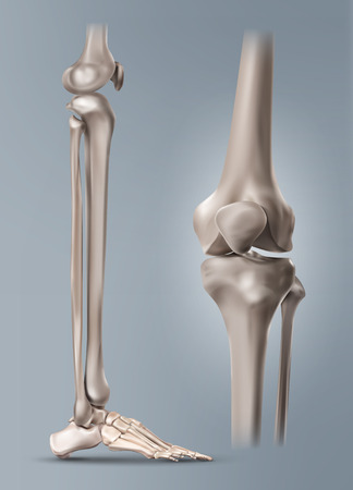 Vector medical illustration of the human leg or shin and bones of foot with knee-joint. Isolated on background