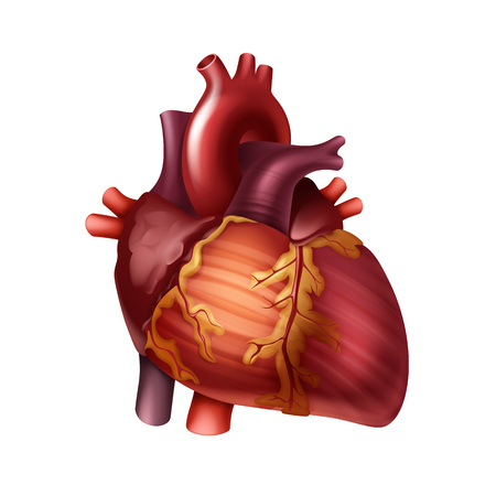 Vector red healthy human heart with arteries close up front view isolated on white background Ilustrace