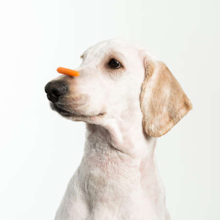 paciencia: Un perro mostrando paciencia con una golosina en la nariz.