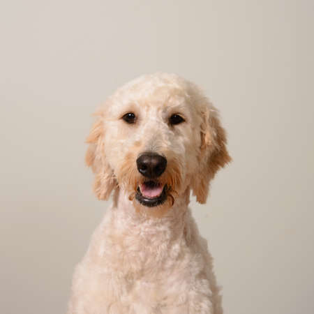 cream colored: A portrait of a cream colored goldendoodle agains a light blue backdrop Stock Photo