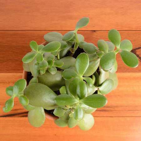 jade plant: a jade plant in a pot on a wood background.  View point is from above. Stock Photo