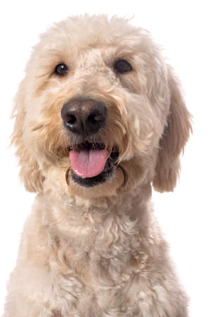 poodle mix: A smiling white goldendoodle isolated on a white background Stock Photo