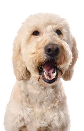 poodle mix: A white goldendoodle with its mouth open, chewing on food.  Isolated on a white background. Stock Photo