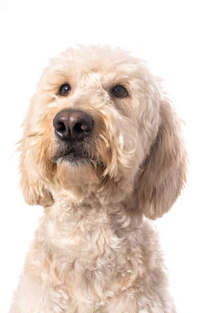 poodle mix: A white goldendoole looking up as if she is thinking.  Isolated on a white background.