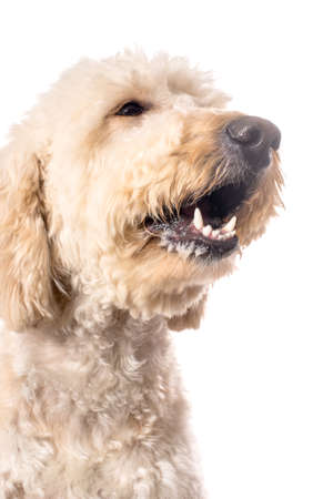 poodle mix: A white goldendoodle with her mouth open as if she was saying something.  Isolated on a white background.