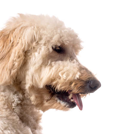 poodle mix: A side view of a goldendoodle with its tongue out.