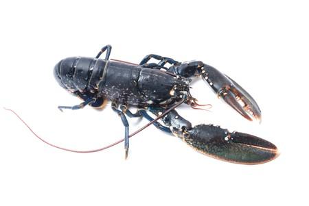 Breton lobster photo