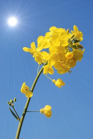 agronomic: Flower of rape  Stock Photo