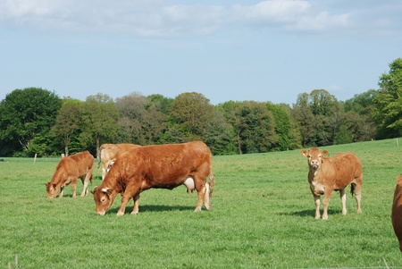 cow pasture: Cows in meadows Stock Photo