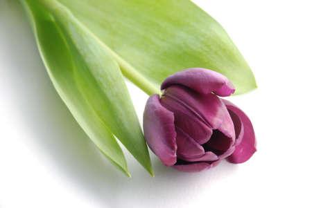 Tulip Stock Photo - 9271102
