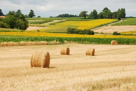 a straw:  Round straw bales in harvested fields  Stock Photo