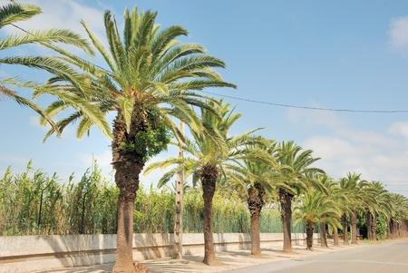Date palm Stock Photo - 10443498