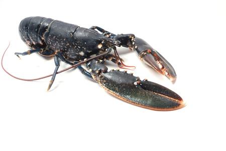 fisheries: Breton lobster Stock Photo