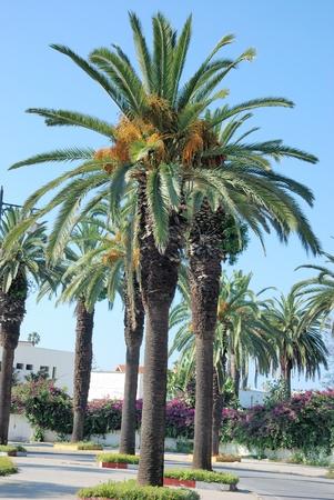 date fruit: Date palm