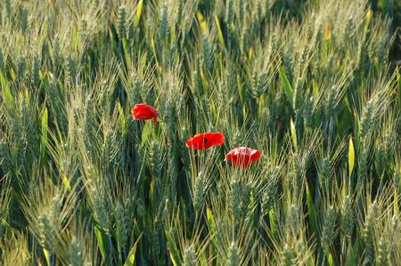rurale: Wheat and Poppies