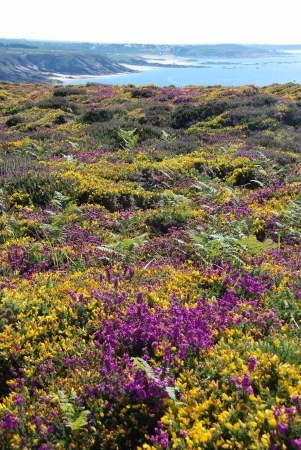 heathland: heathland with heather and gorse Stock Photo