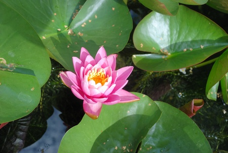 nymphaeaceae: Waterlily flowers in a pond