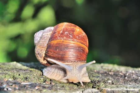 hermaphrodite: Burgundy snail Stock Photo
