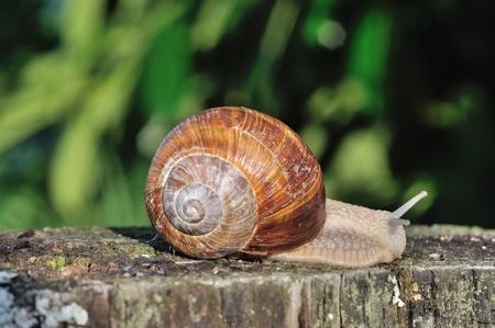 gastropod: Burgundy snail Stock Photo
