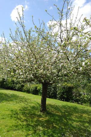 arbol de manzanas: Blooming manzano Foto de archivo