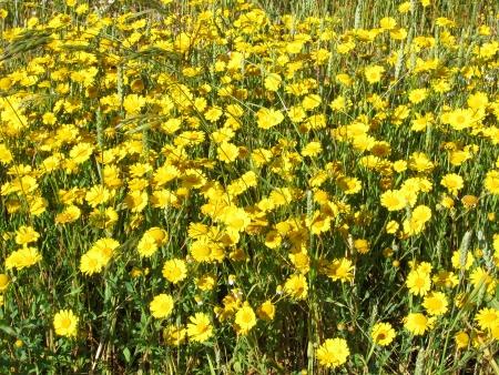 golden daisy: golden daisy