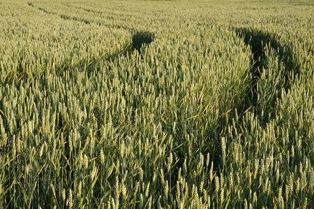 rurale: Wheat farm