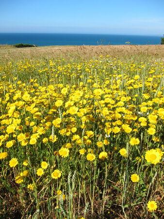 golden daisy: Golden daisy in a field Stock Photo