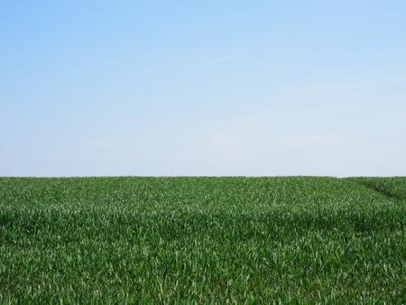 rurale: A green wheat field
