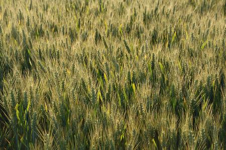 rurale: Wheat field
