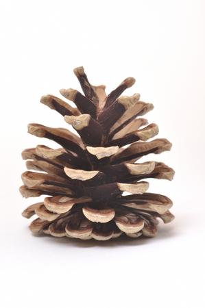 pine cone: Pigna Archivio Fotografico