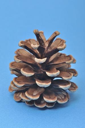 pine cone: